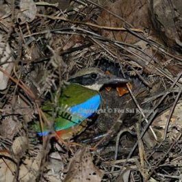 Observing the nesting of the Mangrove Pitta
