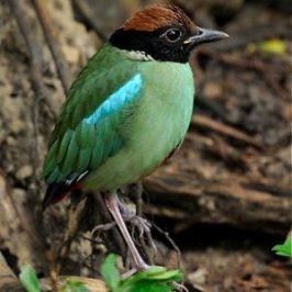 Birds of the Solstice: Birding at Singapore's Bidadari Cemetery