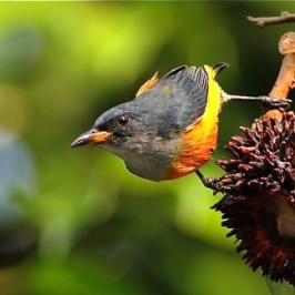 Orange-bellied Flowerpecker and pulasan
