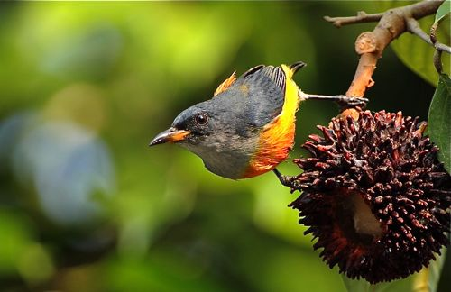 Orange-bellied Flowerpecker and pulasan