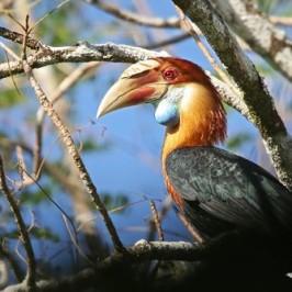 Sumba Hornbill: Highly endangered