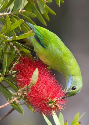 Orange-bellied Leafbird and bottle-brush trees