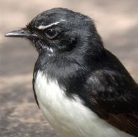 """Willie"" the wagtail"