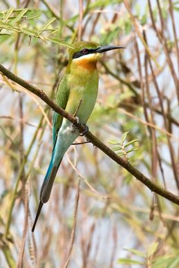 Bee-eaters of the Thai-Malay Peninsula