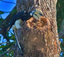 Hornbills at Changi: Looking for a nesting cavity