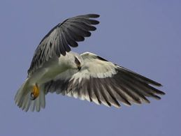 Hunting technique of Black-shouldered Kite