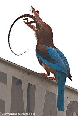 White-throated Kingfisher swallowing lizard