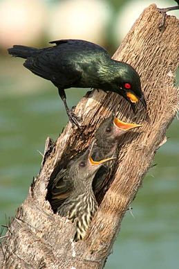 Asian Glossy Starling feeding chicks