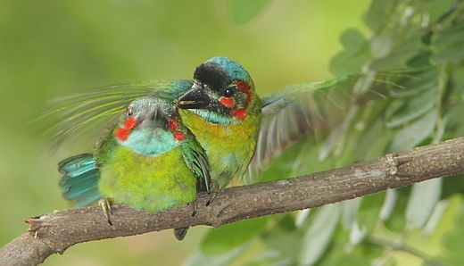 Courtship of the Blue-eared Barbet