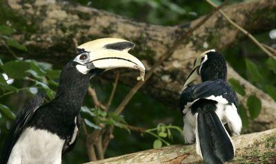 Oriental Pied Hornbill courtship