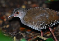 Red-legged Crake at the Botanic Gardens
