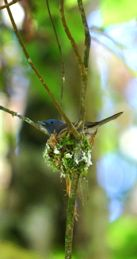 Black-Naped Monarch: Nesting defense strategy