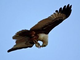 Brahminy Kite eating on the wing