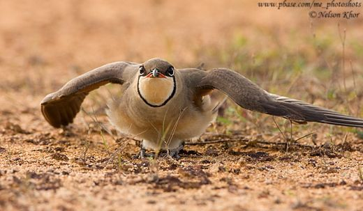 Oriental Pratincole: Adult and juvenile