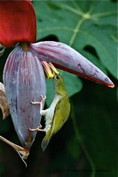 <strong>Little Spiderhunter: Nectar from banana flowers</strong>