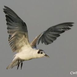 White-winged Tern: Breeding, non-breeding and transitional plumages