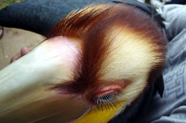 Plain-pouched Hornbill's eyelashes