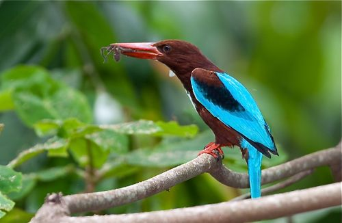 White-throated Kingfisher catches spider