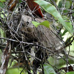 White-rumped Munia nests