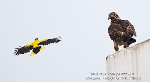 An Oriental Honey-buzzard came a-visiting