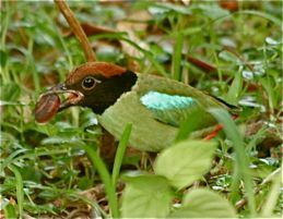 Hooded Pitta eating a land mollusc