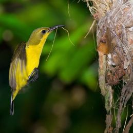 Olive-backed Sunbird: A tragic ending