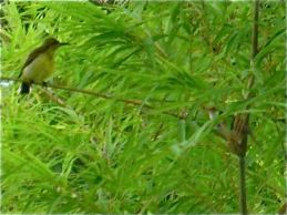 A nesting tailorbird encounters sunbirds… and a cat