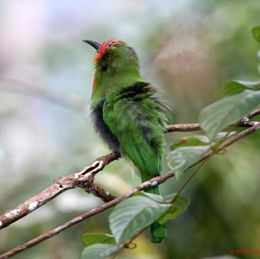 <strong>Red-bearded Bee-eater: Black inner feathers?</strong>