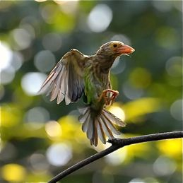 Lineated Barbet's household chore