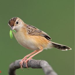 Zitting Cisticola catching caterpillar to feed chicks