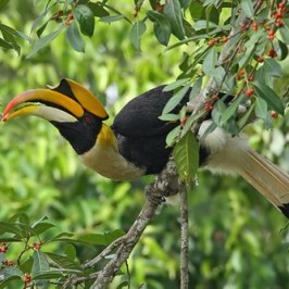 Great Hornbill manipulating a fig