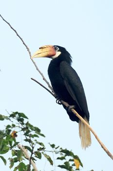 Narcondam Hornbill sighted