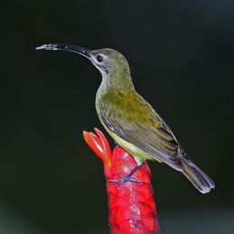 Nectar harvesting and pollination by spiderhunters