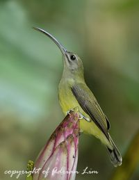Little Spiderhunter and wild banana plant