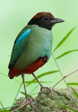 Why does the Hooded Pitta stand on one leg?