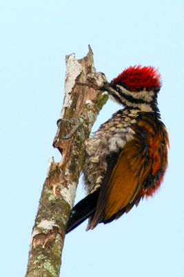 Common Flameback's tongue
