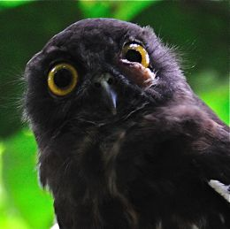 Brown Hawk Owl with eye tumour