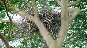 White-bellied Sea Eagle: Early nesting behaviour