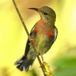 <strong>Crimson Sunbird: Adult and juvenile male plumage</strong>