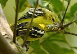 Common Iora feeding bee to chick