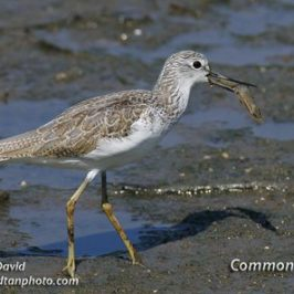 Common Greenshank catching a prawn