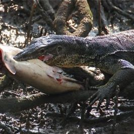 Malayan Water Monitor catching catfish