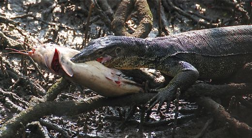 Related Keywords & Suggestions for monitor lizard teeth