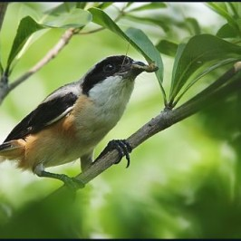 Long-tailed Shrike feeding juvenile