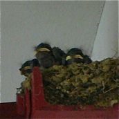 Pacific Swallow feeding chicks I