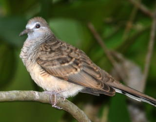 ZEBRA DOVES – 10. Twelve days old fledgling
