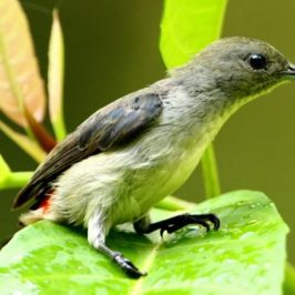 Scarlet-backed Flowerpecker taking a leaf bath