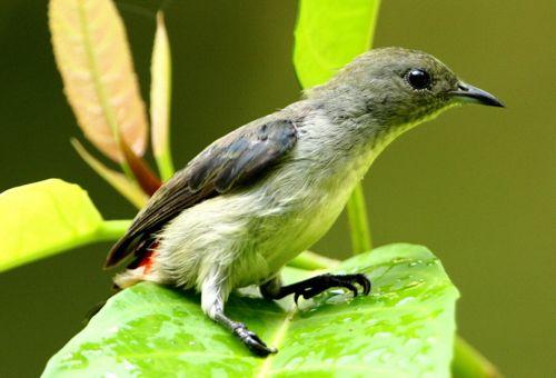 Scarlet-backed Flowerpecker taking a leaf bath