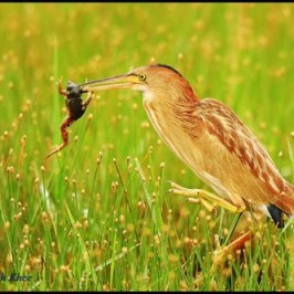 Yellow Bittern catches a frog