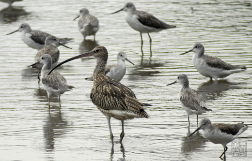 Eurasian Curlew at Sungei Buloh Wetland Reserve